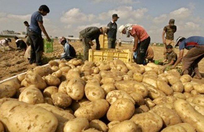 تراجع أسعار البطاطس نتيجة الموجة الثانية لجائحة «كورونا»