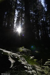 Sun shining through redwood trees