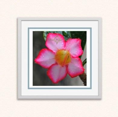 rosa-do-deserto
