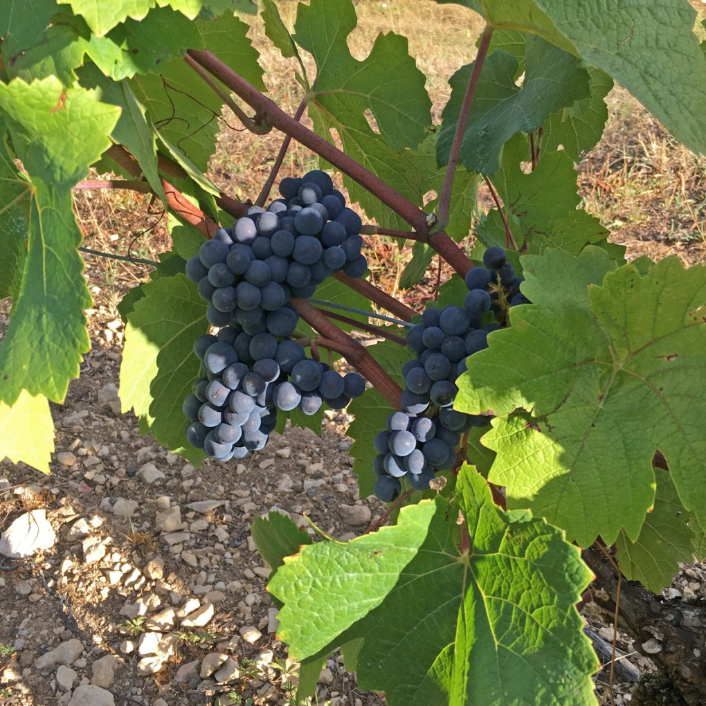 raisin vigne NILS & EMI