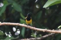 Burung Madu Sriganti 1