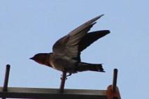 Burung Layang-Layang Batu 6