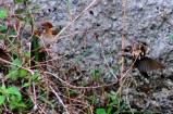 Burung Kipasan - Kedasih f