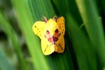 Ngengat Kuning 3