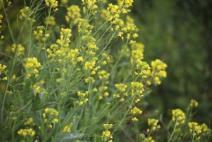 Bunga tanaman Sawi Liar.