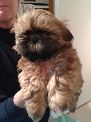 Pedigree KC Registered Shih Tzu Puppies In SELBY