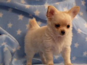 Pedigree KC Registered Long Coat Chihuahua Puppies In