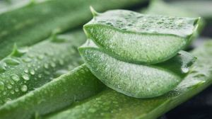 Aloe vera can cause miscarriage in pregnancy