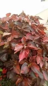 Alefo leaf