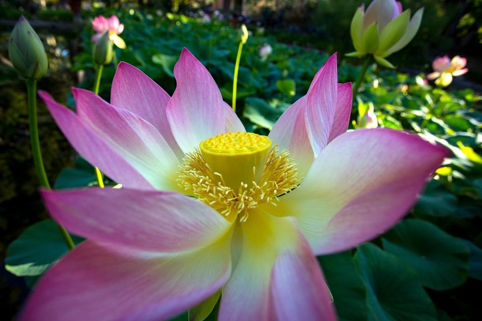 Lotusland Lotusblomst
