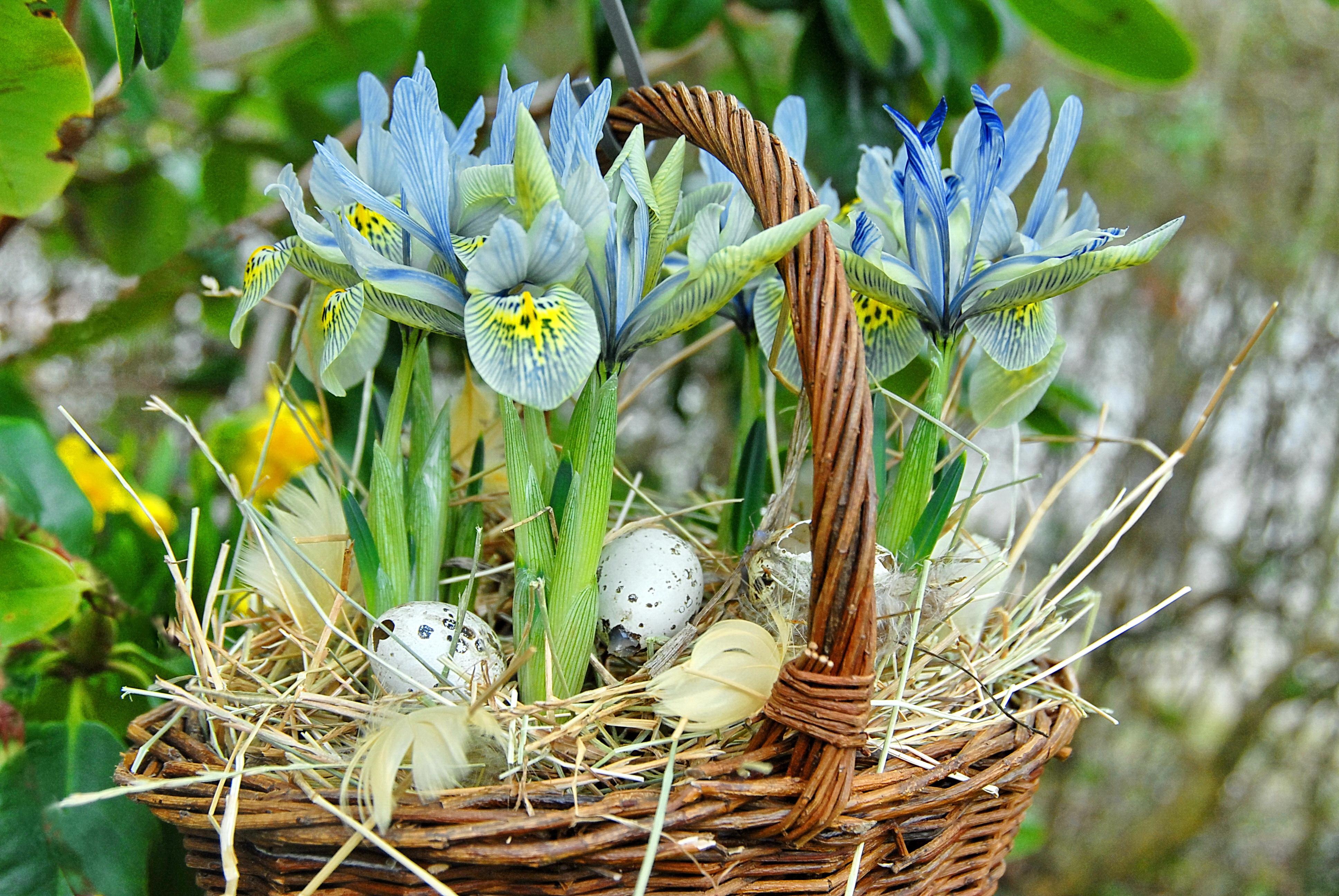 Forårs-iris Og Vagtelæg I Kurv