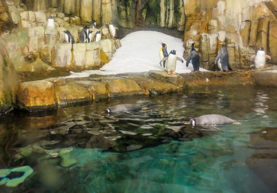 Penguins play in the Antartic ecosystem at the Biodome
