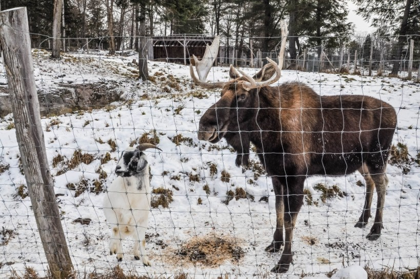 Omega Park moose and goat