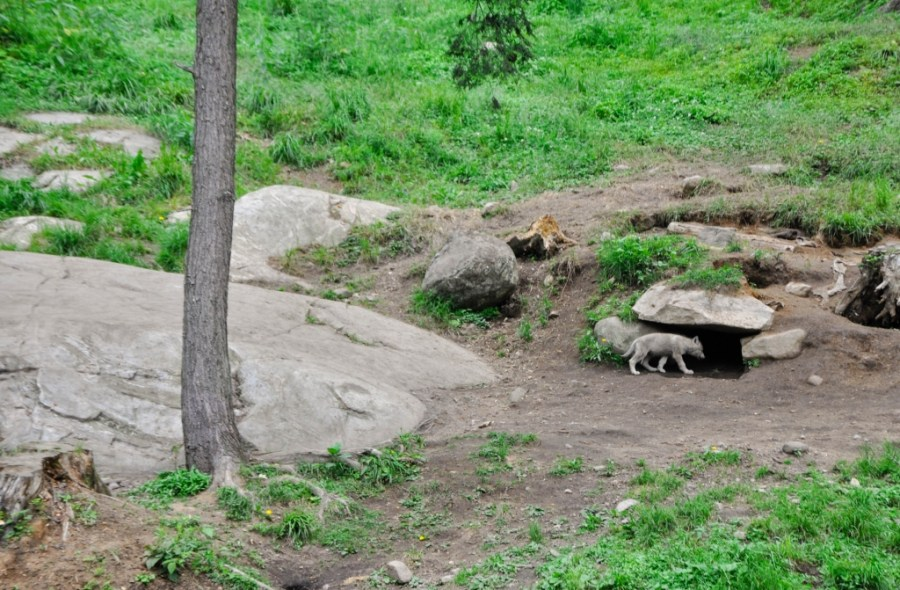 Wolf pup entering the den