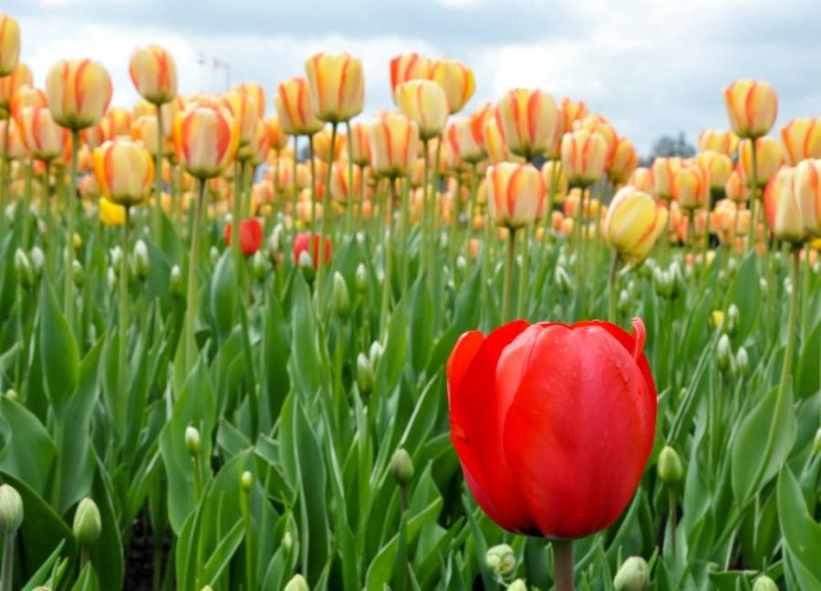 The Canadian Tulip Festival