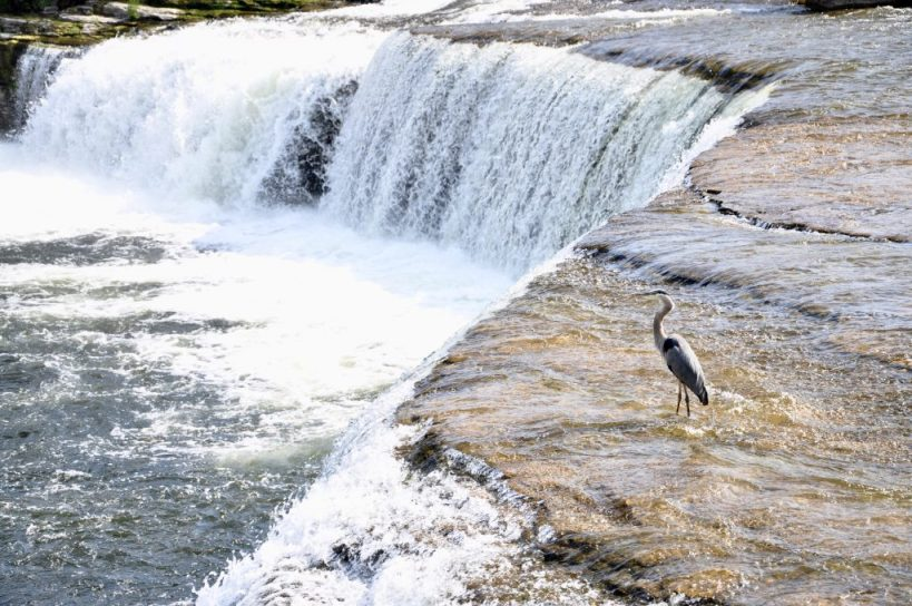 Blue Heron at Fenelon Falls