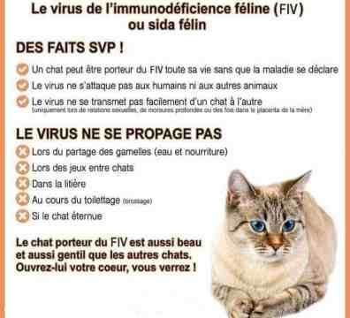 chat FIV
