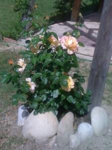 Beautiful Rose (Peace)