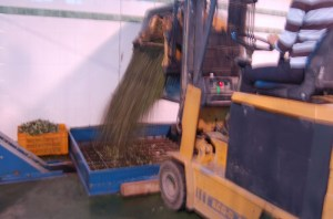 The olives start their journey through the press
