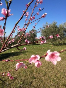 Blossom and blue sky, March 2015 Italy