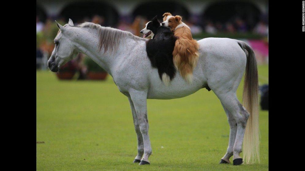 Volete spiegarlo voi, a quei due adorabili cagnolini, che la fiera equina di Dublino è tutta concentrata sui cavalli?