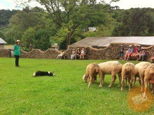 Demonstração de pastoreio na Casa da Ovelha em Bento Gonçalves