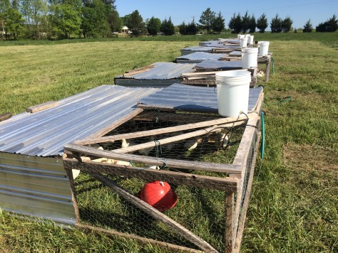 Chickens on pasture in Joel Salatin style chicken tractors