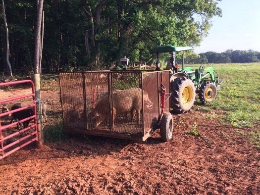 Pigs on a pig trailer
