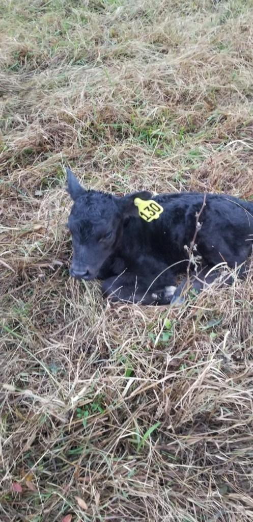 calf #130