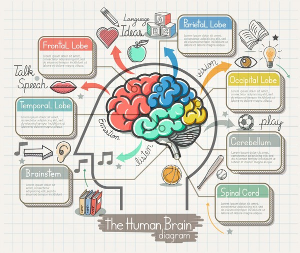 50958313 - the human brain diagram doodles icons set. illustration.