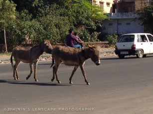 Frisky Donkey - There are many ways on looking at domesticated animals in India. do you think they are better off roaming around in the city, together with human or in the wild, where space are getting smaller for them?