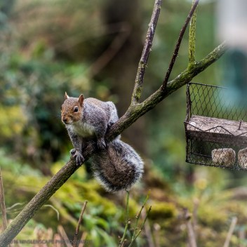 Sneaky squirrel acrobating around to get to the birds feeder