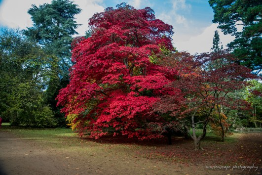 Glorious red colours of varieties of Acer Palmatum