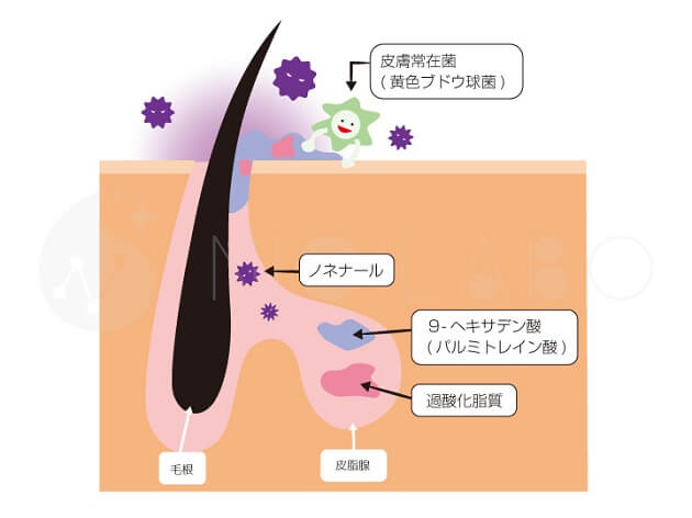 ノネナール発生の仕組み