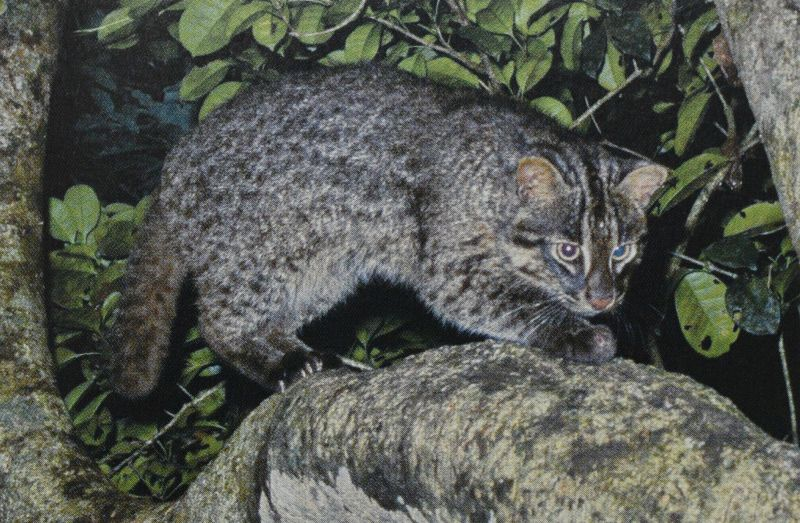 The Iriomote cat - picture by The Ministry of Environment