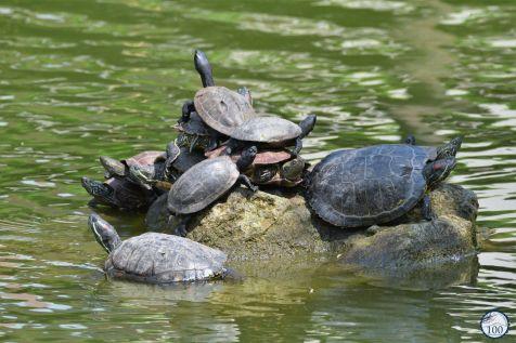 Les tortues du Kameido Tenjin à Tokyo