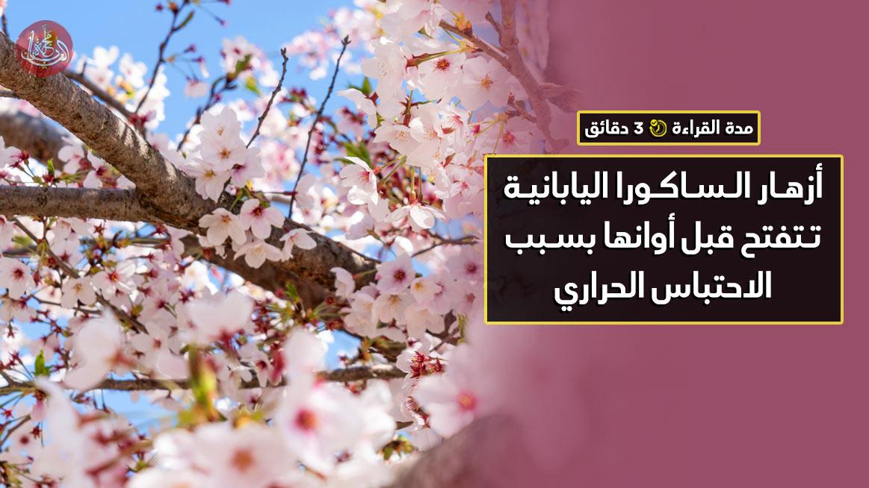 أزهار الساكورا اليابانية تتفتح قبل أوانها بسبب الاحتباس الحراري