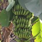 Bananas, Kabirvad, Bharuch, Narmada River