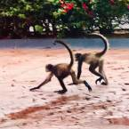 Monkeys, Hard Rock Hotel Riviera Maya