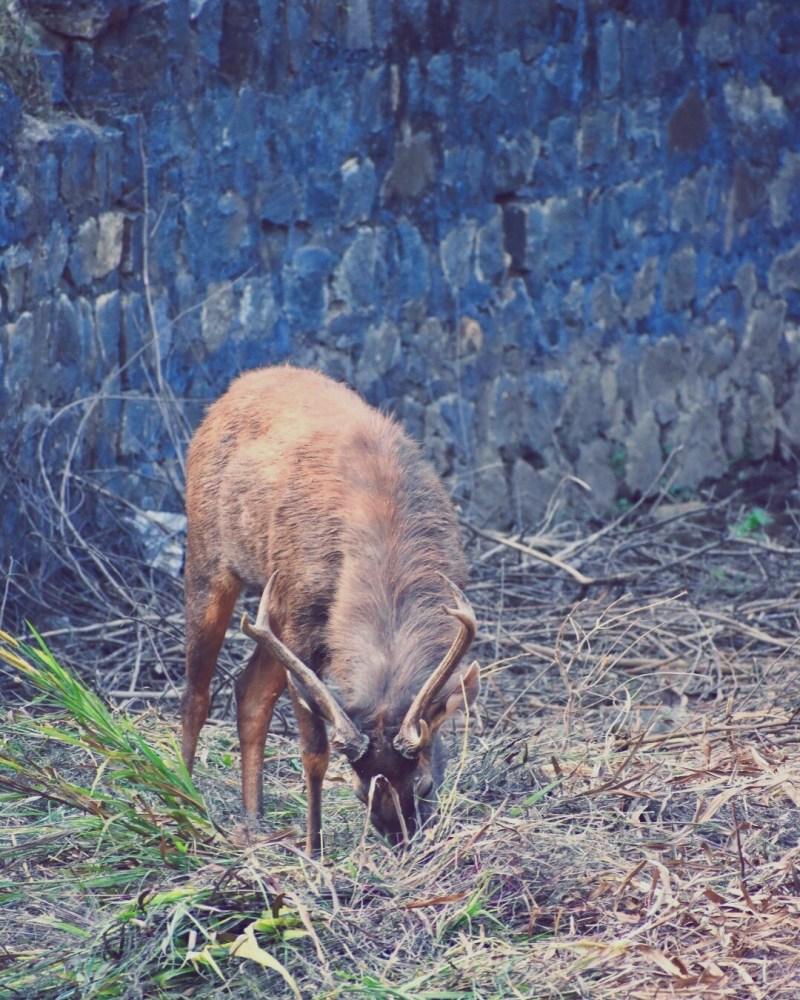 The deer grazing