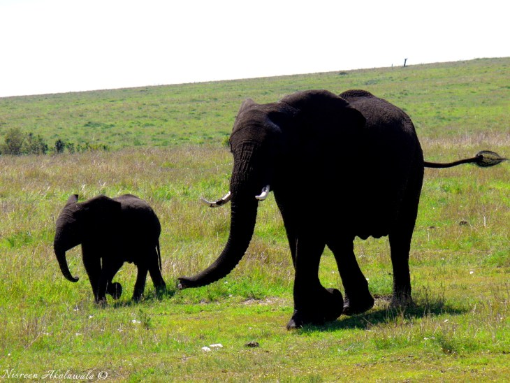 Elephant with its baby in Masai Mara,Kenya