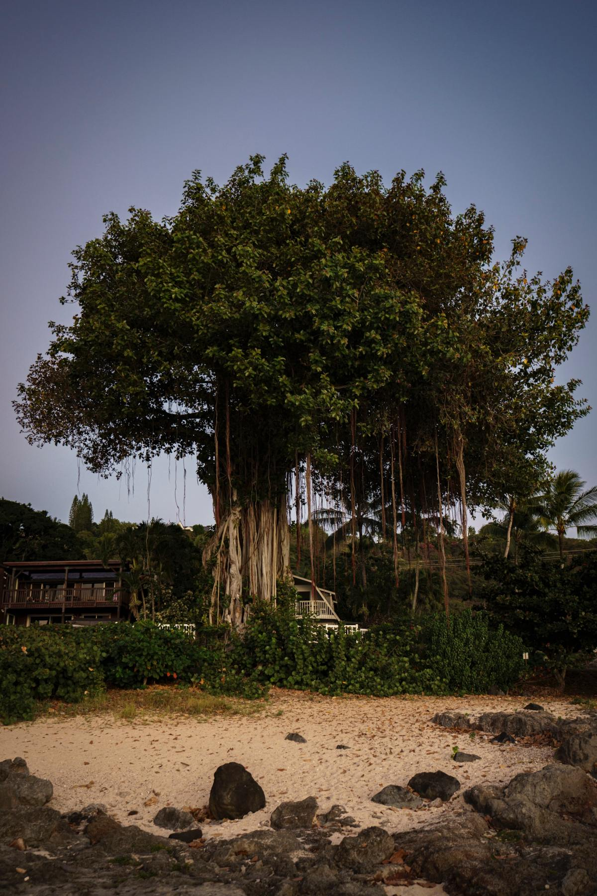 How imperialism turned a tree of longevity into a tree of death.