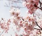 仙台錦町公園の桜。種類やお花見の見頃は?アクセスは?