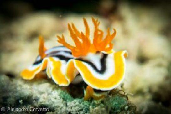 Anna´s nudibranch