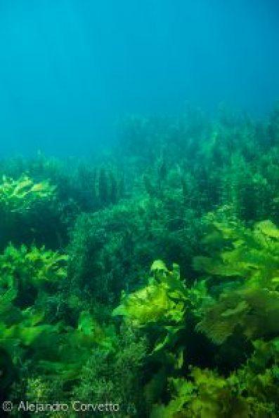 Kelps bajo el agua