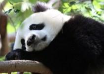 ps4_panda