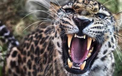 Leopard …in my backyard!