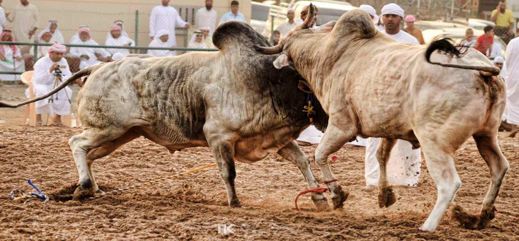 NK-Bull-Fight-15