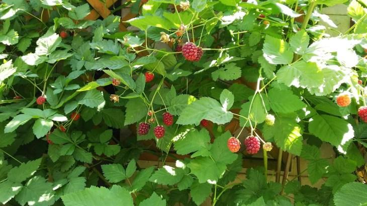 ボイセンベリーの生命力と収穫量がすごい!収穫から半月でジャムが作れる量に!