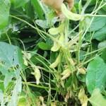 蔓ボケで花が咲かない枝豆は抜くしかないのか・・・植え付けから3カ月目にして花・実が着き始めた!